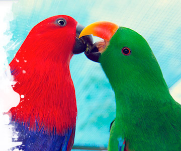 Are male Eclectus better than females?